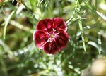 Dianthus 'Damask Superb'