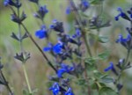 Salvia 'Indigo Blue'