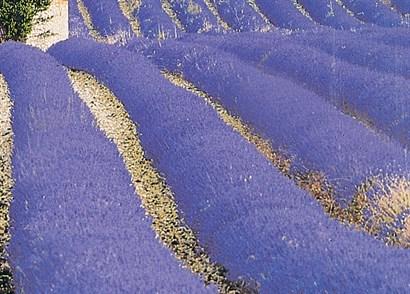 foto de Lavandula x intermedia 'Grosso'