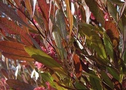 Dodonea Viscosa Purpurea W H Cr W H