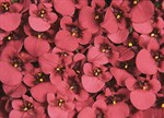 Diascia cordata 'Whisper Cranberry Red'