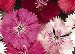 Dianthus 'Select Red'