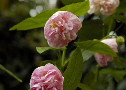 Abutilon X Hybridum Pink Swirls