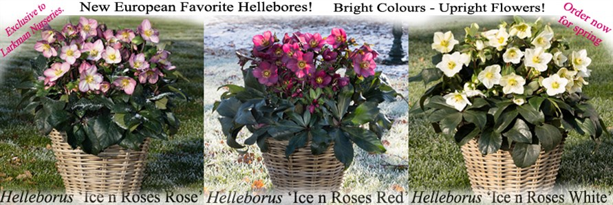Best of European Hellebores
