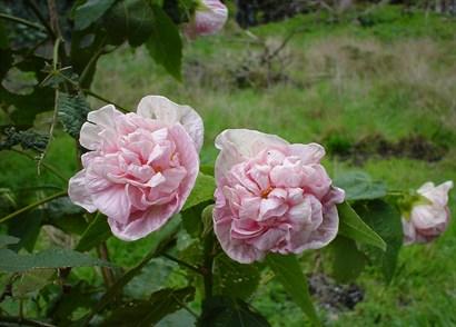 Abutilon x hybridum pink swirls mightylinksfo